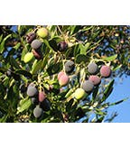 Picholine Olive Branch