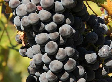 brc grapes 375x275