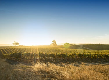 cowsis vineyards in sunset 375x275