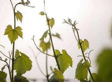 gd vines 375x275