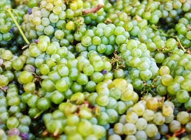 gw grapes 375x275