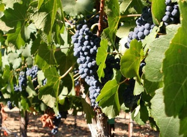 pq black grapes on vine 375x275